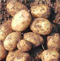 Vorhaben Kartoffel
